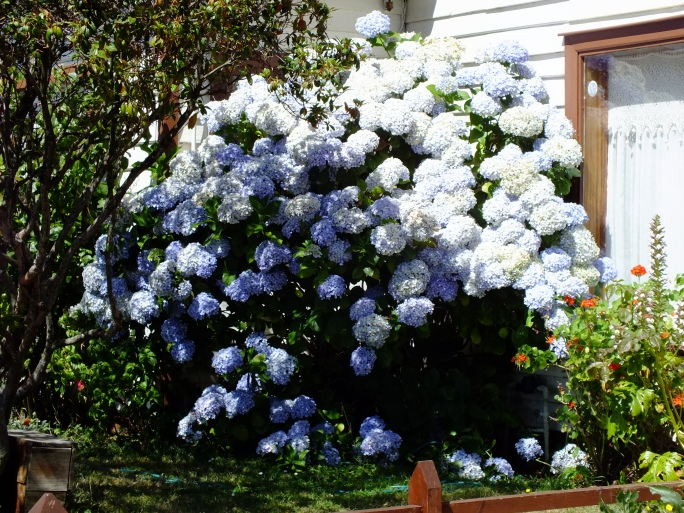 Great place to grow hydrangea!